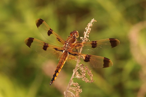 dragonfly northcarolina richmondcounty paintedskimmer libellulasemifasciata