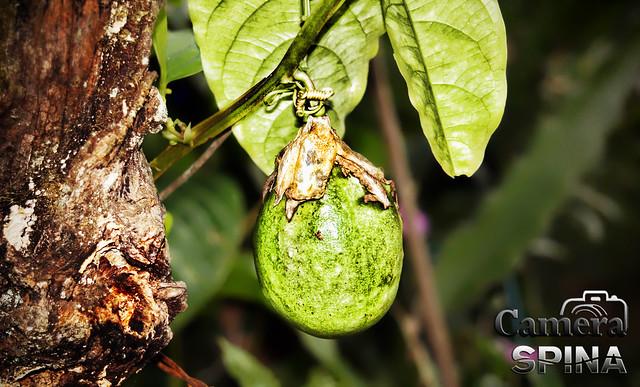 Fruta 009