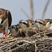 Dinner With The Osprey's by frank1556