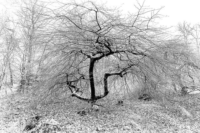 Hêtre tortillard qui pousse en Forêt de Verzy