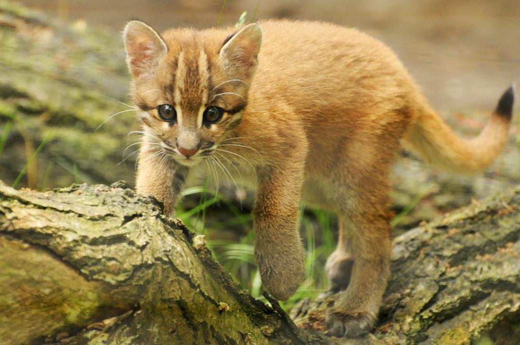 Catopuma t. temminckii - Östliche Goldkatze - Southeast Asian golden cat