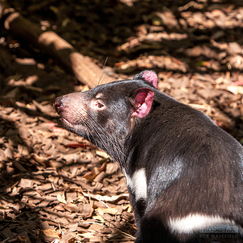 This little devil, a Tasmanian Devil, was full of energy.