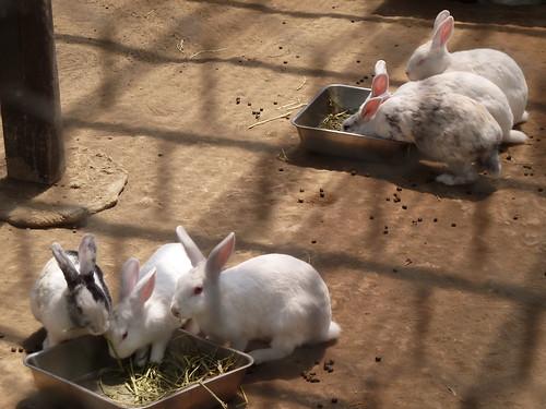 ウサギ ブルーベリーヒル勝浦
