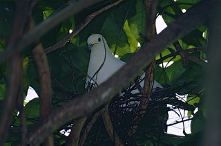 Pied Imperial Pigeon (Ducula bicolor) on nest
