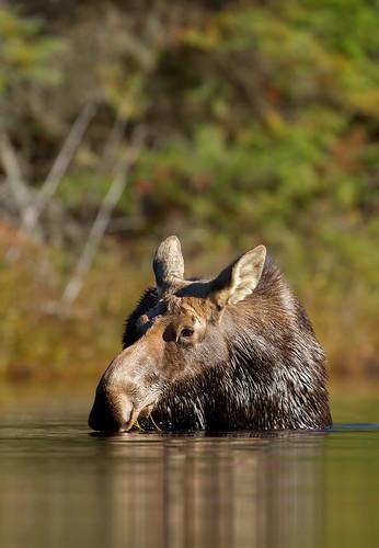 Lunchtime in Algonquin - Moose, Algonquin Park, Canada