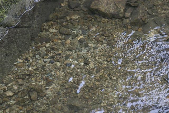 橋の下に作られた産卵床.ドロなどが払われて石が現れている.