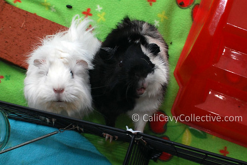 Guinea pig friends Abby-Roo and Revy
