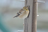 Fluffy Goldfinch having breakfast...amazes me that they can withstand 3 degree weather like that.
