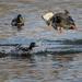 Duck Attack_42357.jpg