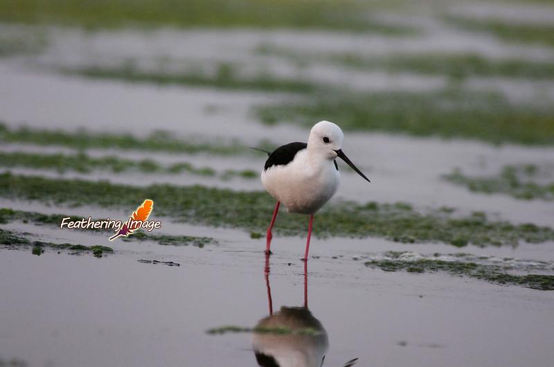 近日鳥拍 - 台南濱海 (&巧遇錢鼠)