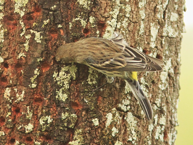 Yellow-rumped Warbler sap-stealer 3-20140223