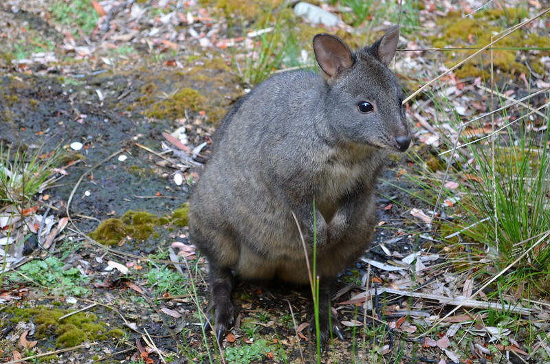 Pinkpurple the pademelon at our Corinna wilderness retreat