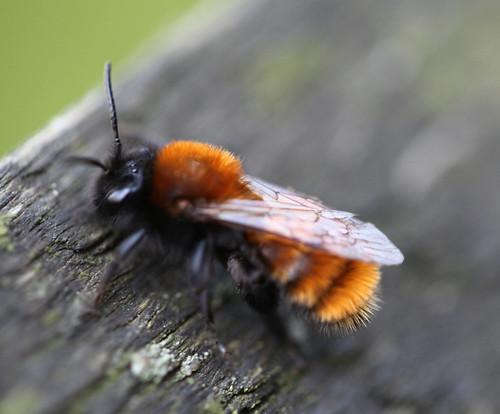 Andrena  Fulva 00794