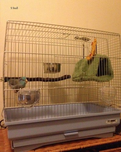Parrotlet in his emergency travel cage