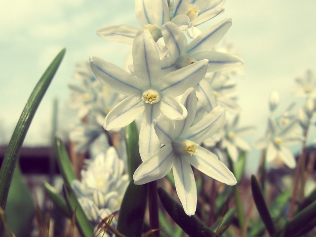Matrosenblümchen