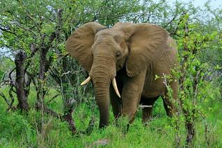 Elephant du KRUGER
