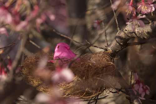 A nesting peep amongst the cherry blossoms