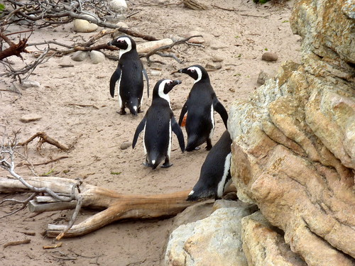 African penguins are currently classified as vulnerable or threatened under the International Union for Conservation of Nature