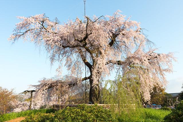 円山公園 祇園枝垂桜
