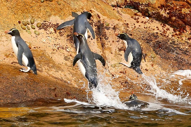 Erect Crested Penguins Propelling From The Sea Bounty Islands Subantarctic New Zealand