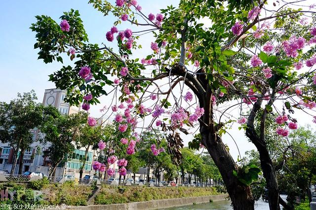 台中朝馬運動中心洋紅風鈴木 (2)