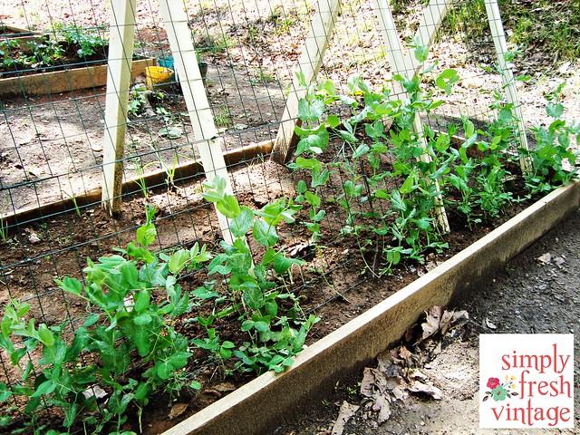 Snap Peas - May Garden ... Simply Fresh Vintage