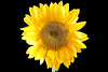 02217-49-Sunflower-2