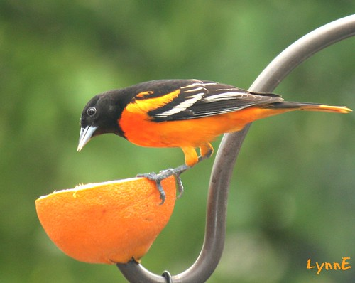 Put out an orange and the Orioles come.  They are here!