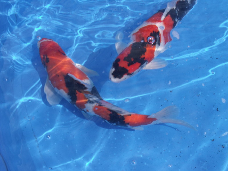 Pictures from worthing district koi show 2013 koi and for Koi fish farm near me