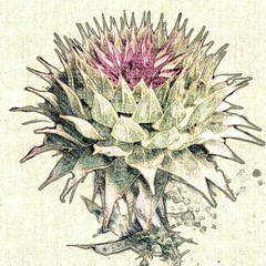 branch(0.0), thistle(0.0), plant(0.0), produce(0.0), food(0.0), flower(1.0), flora(1.0), artichoke thistle(1.0),