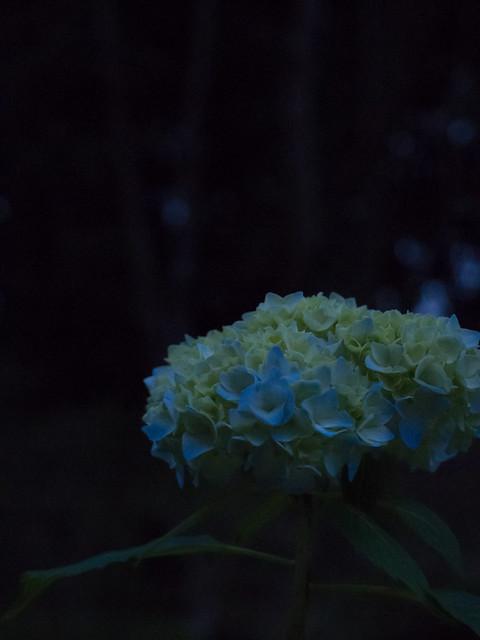 紫陽花撮り始め