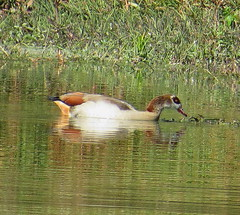 May 27 - 19 Egyptian Goose, reflected