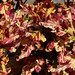 Small photo of Backyard Flowers 2013 - Coleus