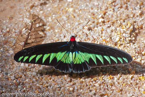 IMG_7700 copy Rajah Brooke's birdwing, Trogonoptera brookiana