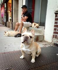 animal, dog, pet, mammal, french bulldog, bulldog,