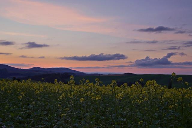 夕暮れのキガラシ畑1