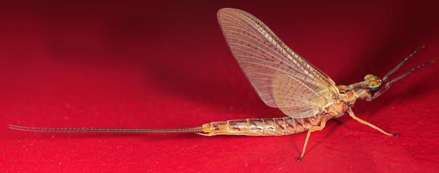 Common Burrower Mayfly (Hexagenia limbata)