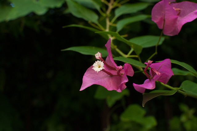 Blooming bouganvilla