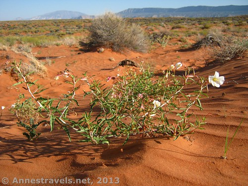 Flowers in the sands of Grand Staircase-Escalante National Monument near Coyote Gulch, Utah