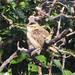 Small photo of Sedge Warbler (Acrocephalus schoenobaenus)