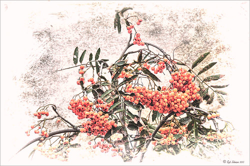 Red Berries with illustrative look image link