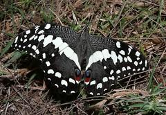 African - Butterflies