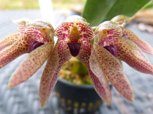 Bulbophyllum Purple Slippers