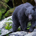 Small photo of Wild Black Bear at Anan Bear Observatory