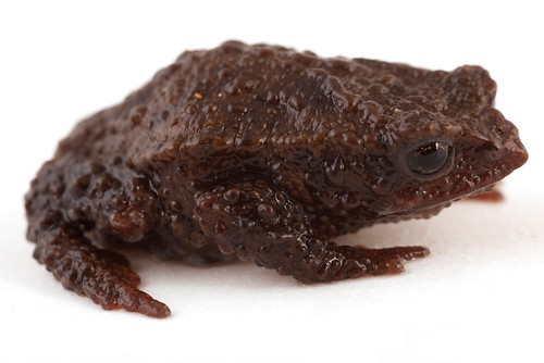 <i>Osornophryne occidentalis</i> Osornosapo occidental ♀