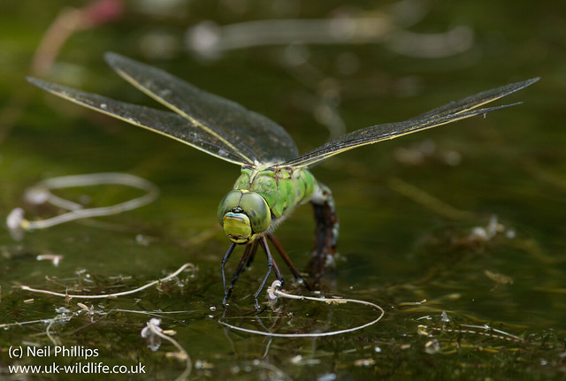 Emperor dragonfly egg laying-1