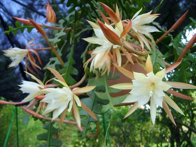 Epiphyllum Anguliger (2010)
