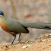 Couquerel's Coua, Kirindy (Stephen Woodham)