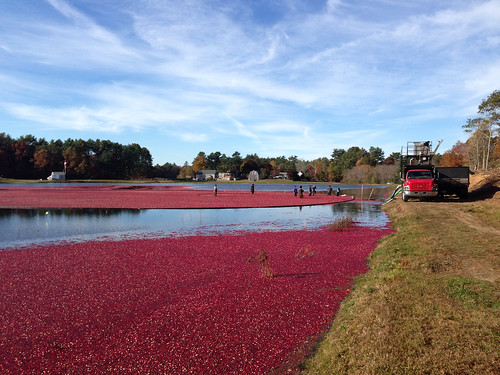 Growers load cranberries after a harvest at Mayflower Cranberries in Plympton, Mass. Photo by Jeff LaFleur of Mayflower Cranberries used with permission.