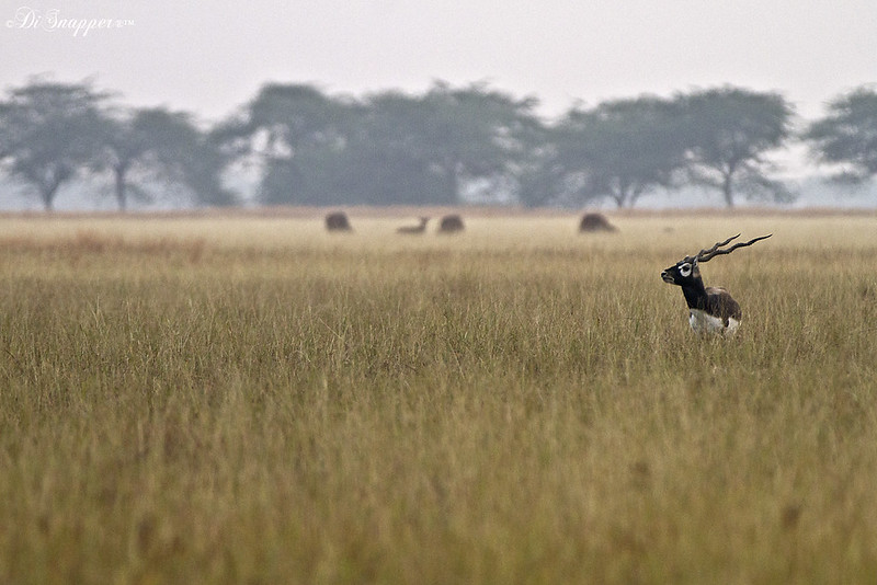 A Black Buck male in its Habitat
